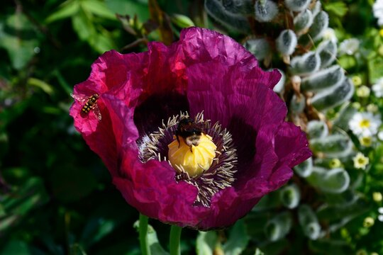 Purple Poppy with a hoverfly on a petal and a Bee collecting pollen