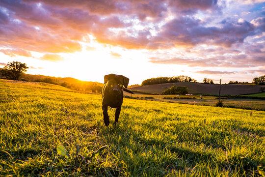 Dog in sunset Burgundy