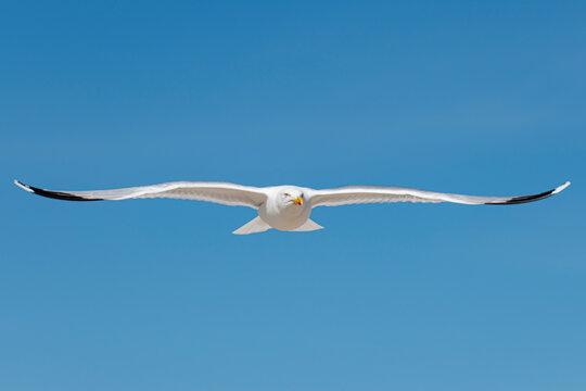 Möwe am blauen Himmel im Flug