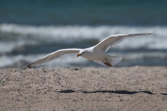 Möwe im Flug am Strand an der Ostsee