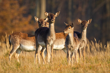 Herd of young fallow deer, dama dama, standing on meadow in autumn. Bunch of does looking on field in fall at sunset. Group of female mammals watching on dry pasture.