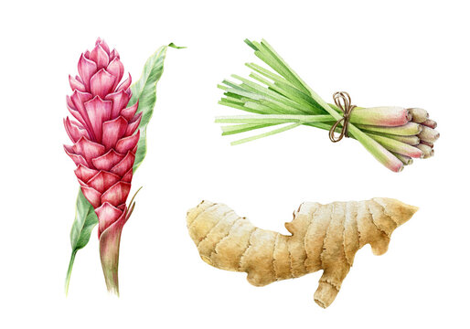 Ginger root, lemongrass and turmeric flower watercolor illustration. Hand drawn close up spicy asian herbs set. Ginger flower and lemongrass bunch traditional aromatic flavor objects
