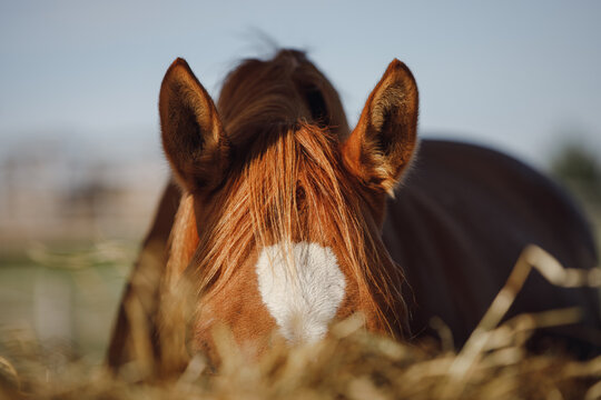 portrait of chestnut horse eating hay from feeder in horse paddock in autumn in daytime