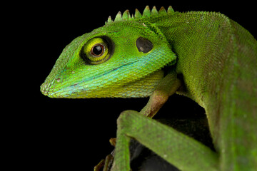 Wall Mural - Green crested lizard (Bronchocela cristatella)