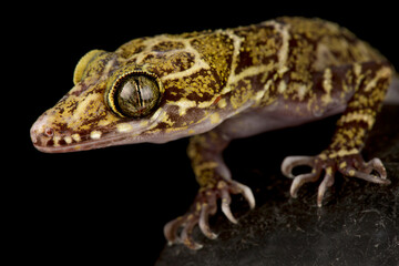 Wall Mural - Thin-Banded Forest Gecko (Cyrtodactylus consobrinus)