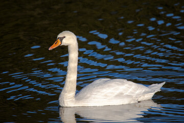 A swan swims in a lake and is reflected in the water