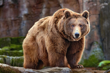 Wall Mural - Picture of a big brown bear