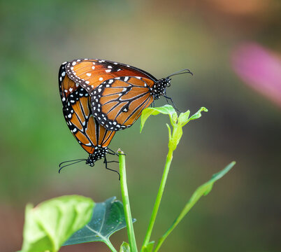 Queen butterfly (Danaus gilippus) pair mating and hanging on a leaf in the fall