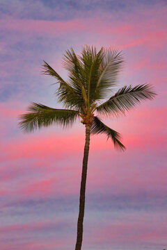 Palm tree on maui with riotous pink and blue, cotton candy sky on Maui.