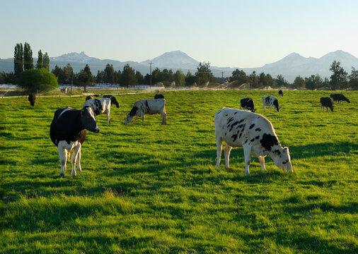 Holstein cows grazing at sundown in Oregon pasture
