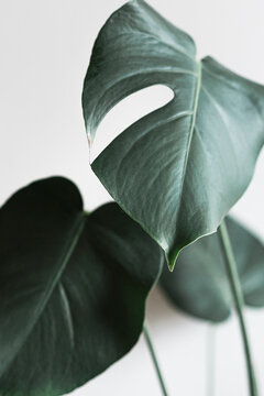 close up of a monstera plant to a grey background