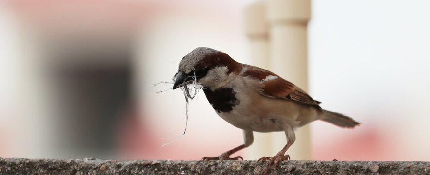 single sparrow hold nest piece in the beak