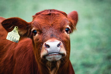 Printed kitchen splashbacks Cow cow on a farm