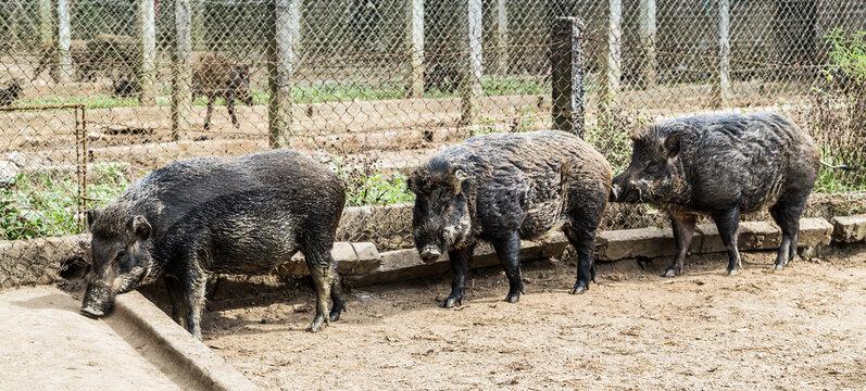African swine fever wild boar