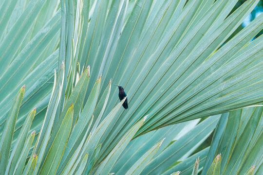 Small Hummingbird on an Agava in Martinique