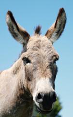 Portrait of mini donkey close up, isolated on blue sky background.