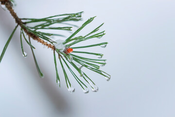 Fir branch in hoar frost on cold morning forest, snowy background