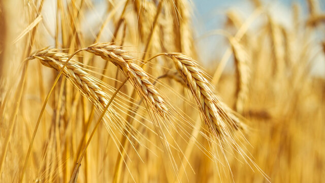 Rural landscape - field common wheat (Triticum aestivum) in the rays of the summer sun, close-up