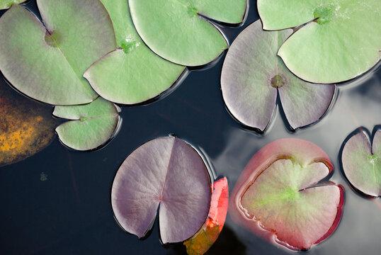 Folhas de planta aquática á tona da água flores de lotus em cores vermelhas, verde roxas e amarelas