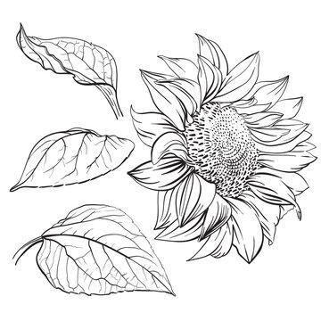 Sunflower. Hand drawn vector illustration
