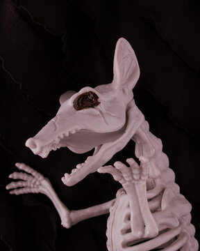Scary Halloween selective focus with rat skeleton on black