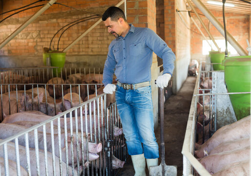 Mature male farmer working in hangar with domestic hogs.