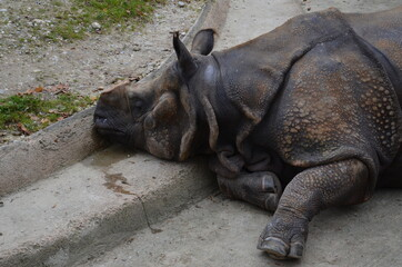 Close view of a lying rhino from the zoo in Munich