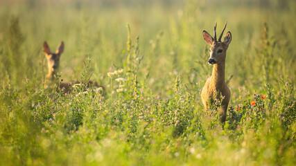 Photo sur Plexiglas Roe Two roe deer, capreolus capreolus, standing in wildflowers in summer nature. Roebuck with blurred doe looking in long grass. Brown mammals watching on meadow.