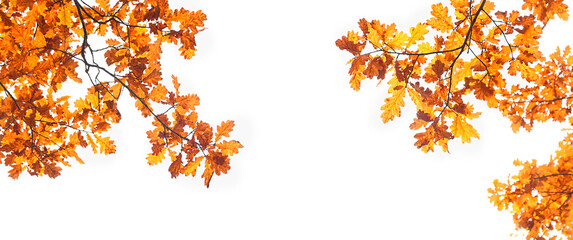 autumn nature background with oak leaves. fall season concept. autumn forest landscape. copy space....
