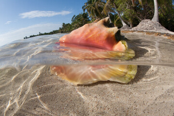Wall Mural - A colorful Queen conch shell lies in shallow water near a remote beach in the Caribbean Sea. This conch is a popular food item and has been fished out of particular areas.