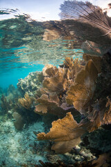 Wall Mural - Beautiful gorgonians grow on a shallow coral reef off the coast of Belize in the Caribbean Sea.