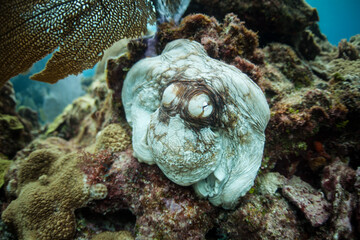 Wall Mural - A Caribbean reef octopus, Octopus briareus, clings to a coral reef off the coast of Belize. This fascinating cephalopod is able to quickly change color to communicate or camouflage itself.