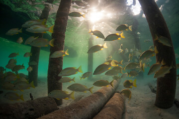 Wall Mural - A school of grunts swims below a pier in the Caribbean Sea. This warm, beautiful sea is a popular destination for divers, snorkelers, and sailors.