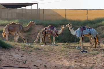 A group of dromedary camels (Camelus dromedarius) eating hay in a camel farm in the United Arab Emirates.