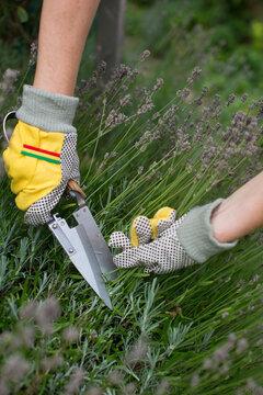 Lavendel beschneiden und trimmen im Garten
