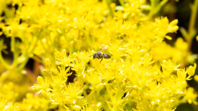 A Flat-tailed Leafcutter Bee (Megachile mendica) Seeks Pollen from Bright Yellow Wildflowers