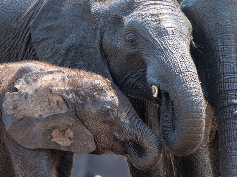 African bush elephant mother and calf (Loxodonta africana) in Hwange National Park