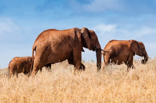 Herd of Elephants (Loxodonta africana), Taita Hills Wildlife Sanctuary, Kenya