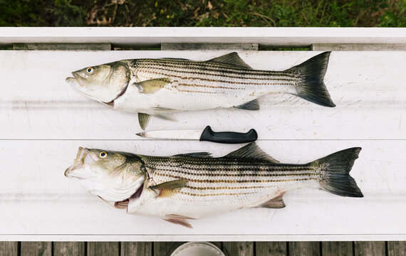 Striped Bass on Filet Table