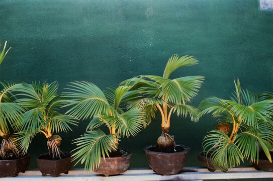 Small coconut palms