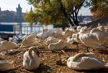 Prague - The Charles bridge and the swans on the Vltava river.