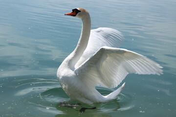 Beautiful white swan bird is opening wings in water