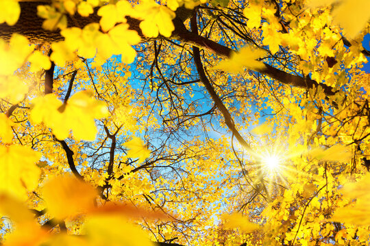 The sun shining through branches of a deciduous tree with yellow foliage in autumn, with blue sky