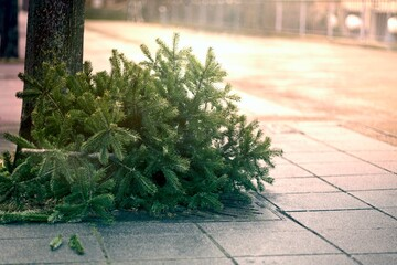 Fototapeta Discarded christmas tree after the Holiday on the sidewalk. obraz