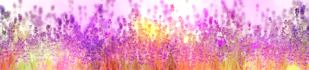 Beautiful sunlit lavender flowers outdoors. Banner design