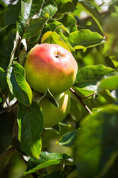 Apples hang on the tree and ripen in the sun.
