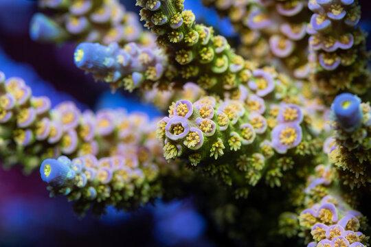 Beautiful acropora sps coral in coral reef aquarium tank. Macro shot. Selective focus.