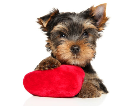 Yorkshire Terrier puppy with a red plush toy