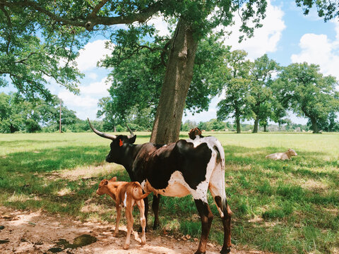 Mobile capture of a Texas longhorn steer / cow