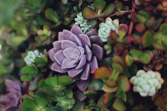 Purple and green succulent garden